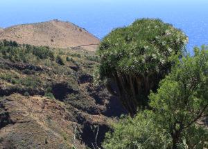Riesige Drachenbäume verzaubern beim Blick auf den Atlantik