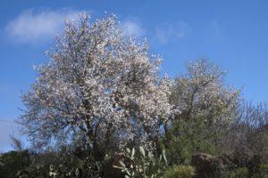 Mandelbäume überall entlang des Weges