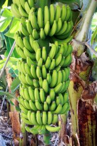 frische kanarische Bananen