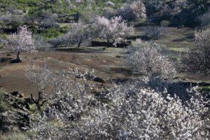 Wandern durch Mandelbäume