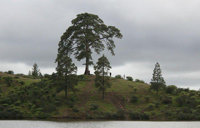 cassandras-tree