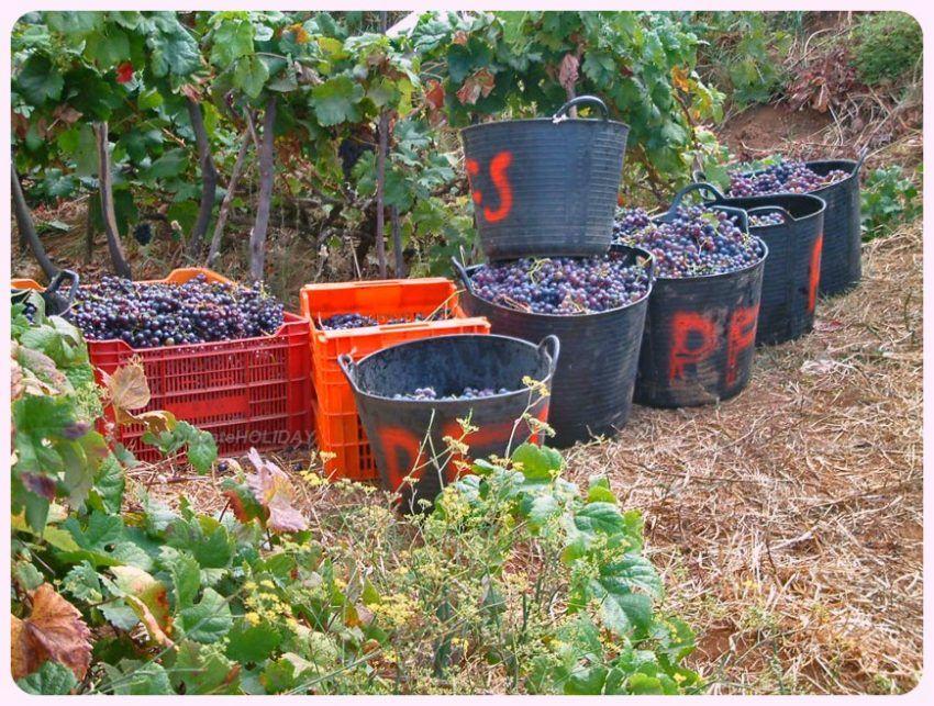 Bereits im Juni kann manch ein Wein aufgrund der hervorragenden Klimabedingungen geerntet werden!