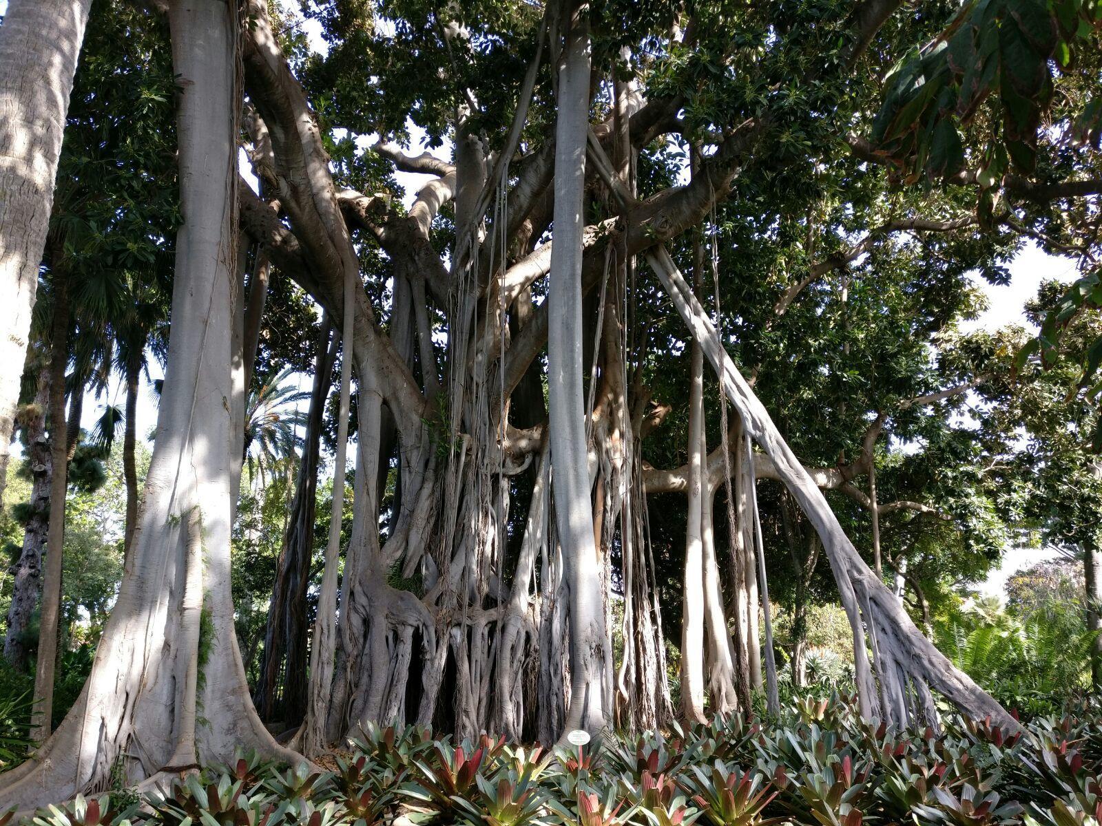 Würgefeigenbaum in Botanischer Garten