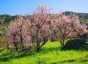 Mandelblütenbäume