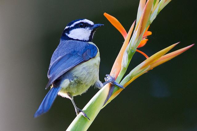 Blaumeise Botanischer Garten