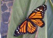 Der Monarchfalter