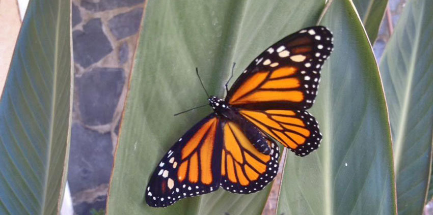 Der Monarchfalter in voller Pracht.