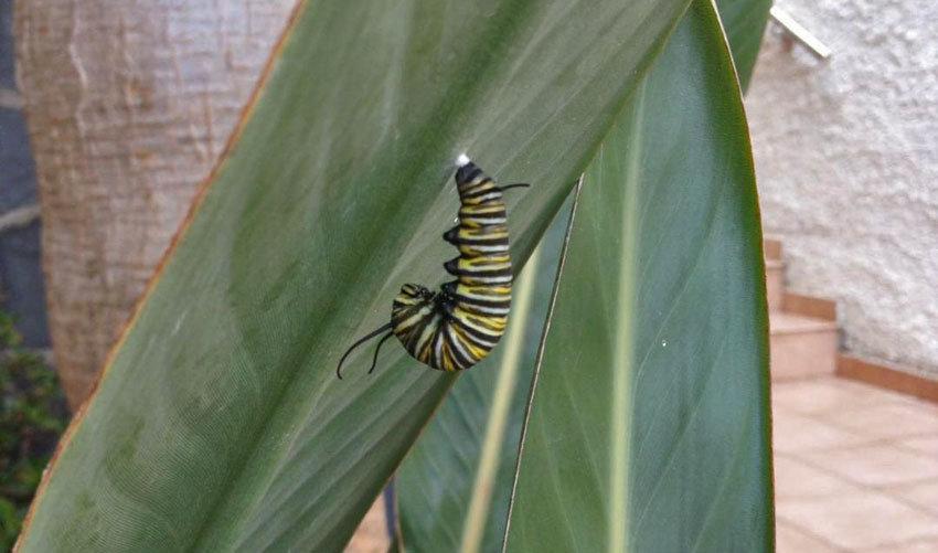 Die Raupe, aus welcher sich später der Monarchfalter entwickelt.
