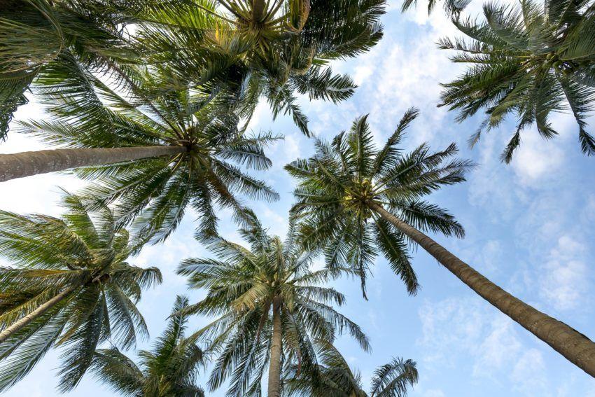Palmen mit blauem Himmel im Hintergrund