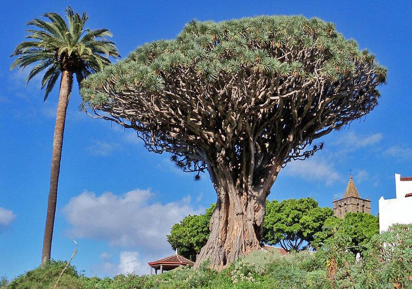 Kanarischer Drachenbaum Drago Milenario auf Teneriffa