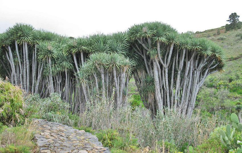 Anlage mit Drachenbäumen auf La Palma