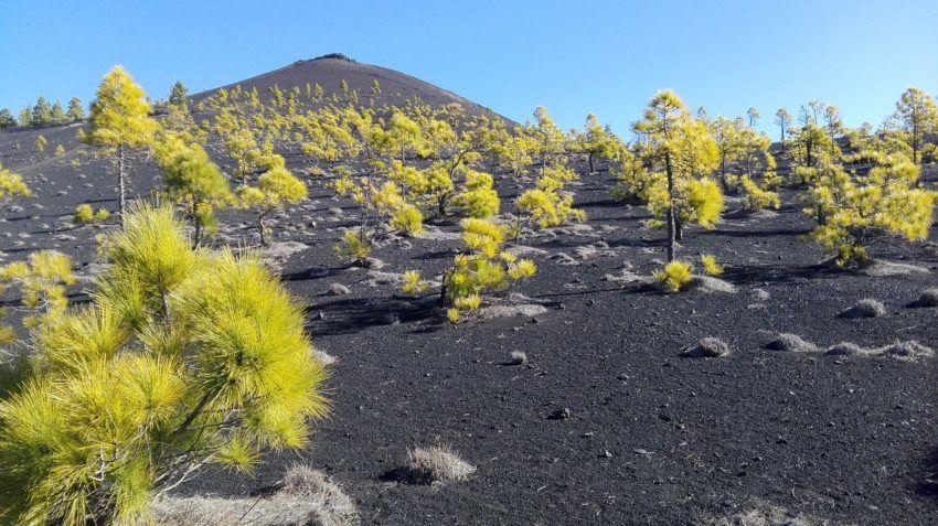 Vulkane auf den kanarischen Inseln mit Kiefernwald