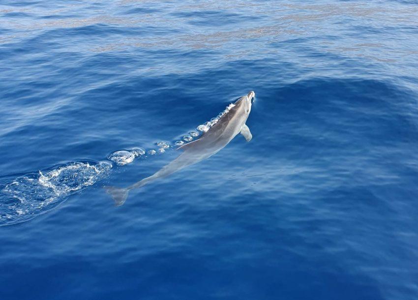 Delfin im Meer von oben