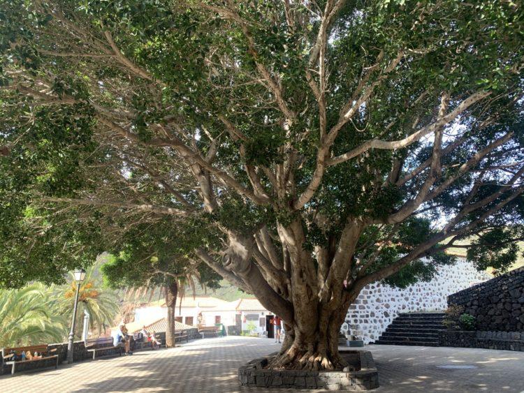 Drachenbaum im Ortszentrum