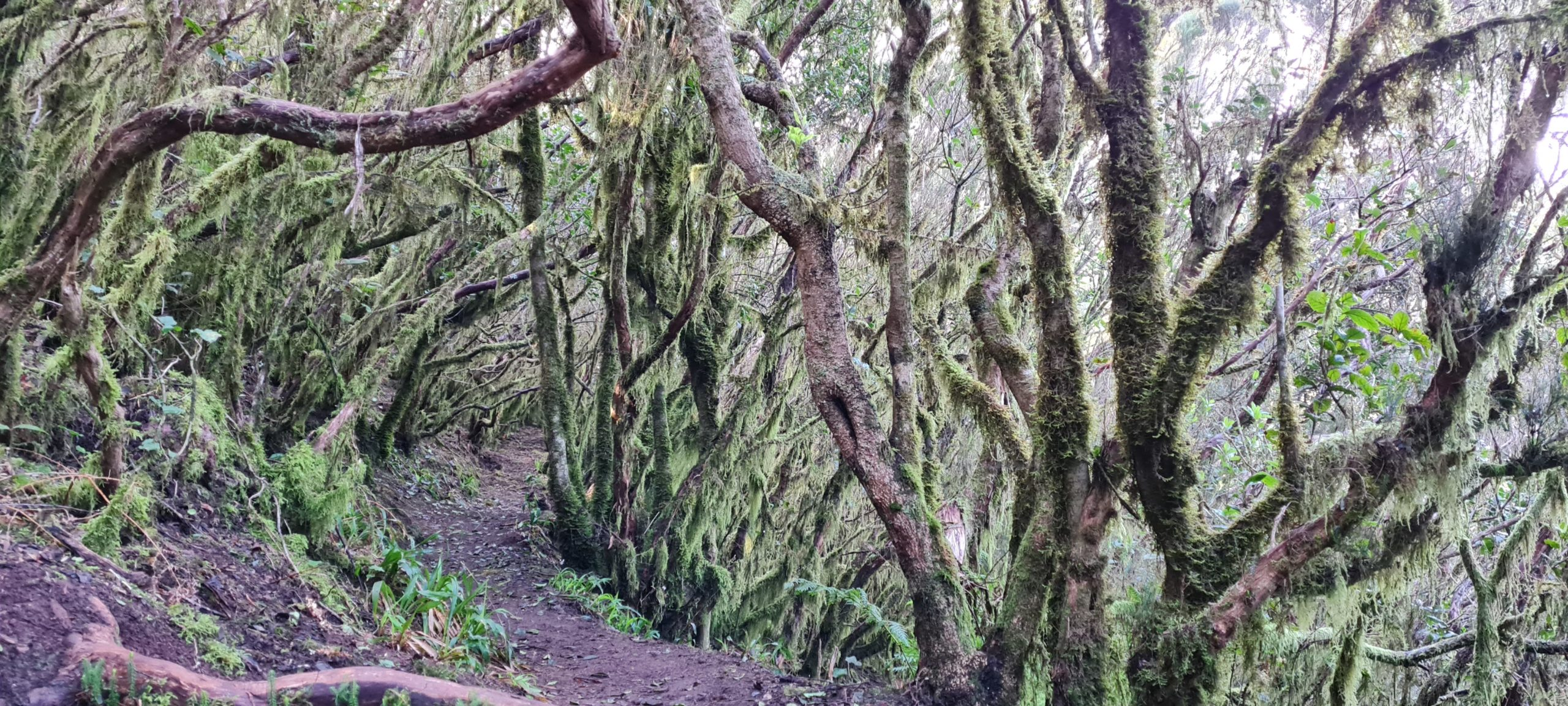 Mystischer Pfad im Nebelwald El Chinobre